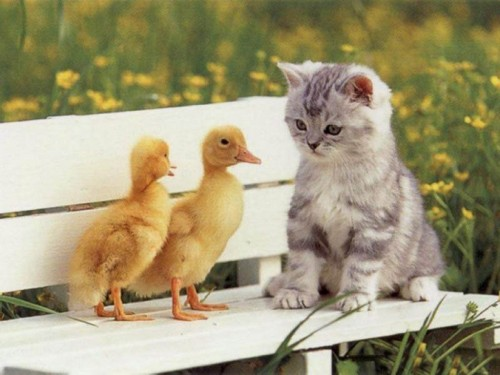 Cute Kitty and Little Ducks Wallpaper